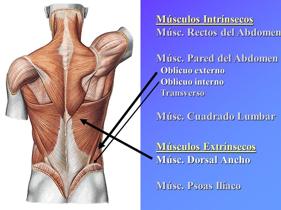Músculos Intrínsecos Músc. Rectos del Abdomen Músc. Pared del Abdomen Oblicuo externo Oblicuo externo Oblicuo interno Oblicuo interno Transverso Trans