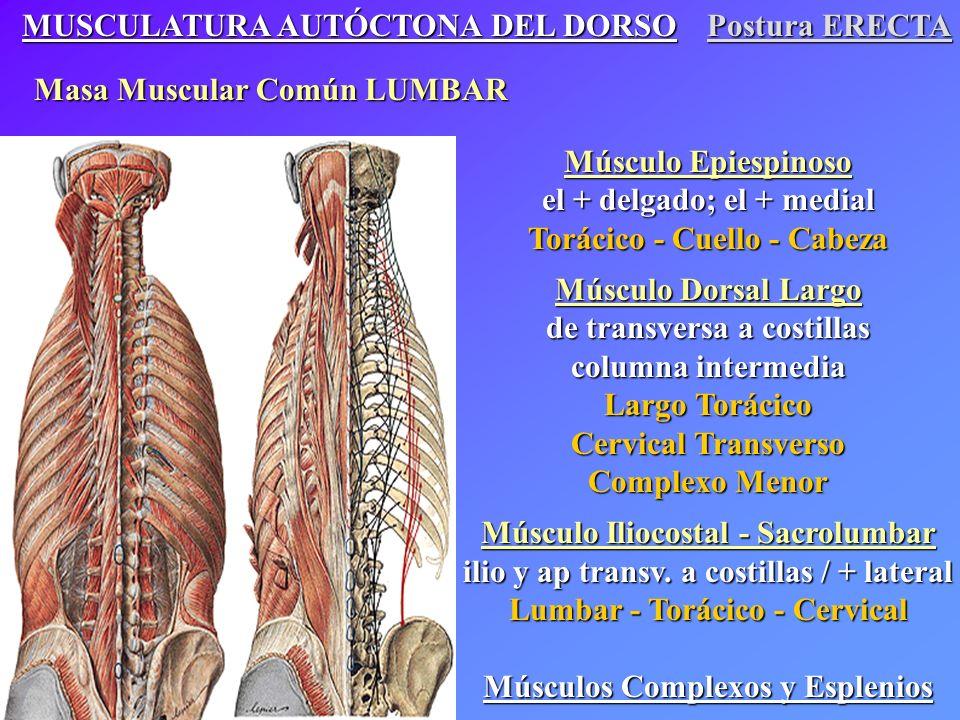 Musculatura a Nivel del Cuello Músculos Autóctonos Músculos Epiespinoso cuello y cabeza Músculos Dorsal largo cuello y cabeza Músculos Iliocostal cervical Músculos Intrínsecos Músculos Prevertebrales Músculos Escalenos Músculos Hioideos (Suprahioideos e Infrahioideos) Músculos Extrínsecos Músculo Trapecio Músculos Esternocleidomastoideo Músculos Elevador de la escápula