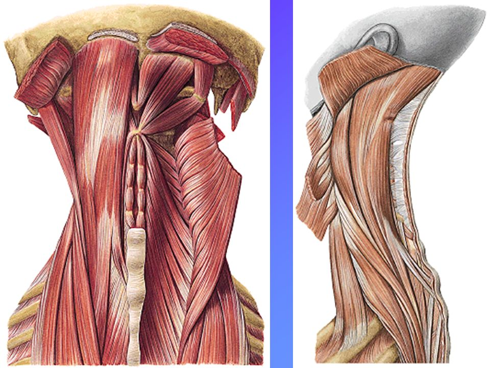 Músculos Extrínsecos Músculo Trapecio Músculo Trapecio Músculo Dorsal Ancho Músculo Dorsal Ancho Músculo Romboides Músculo Romboides (menor y mayor) Músculo Serrato Lateral-Ant.