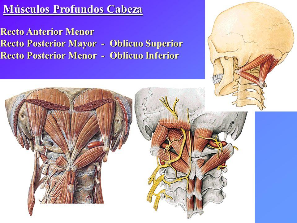 Músculos Profundos Cabeza Recto Anterior Menor Recto Posterior Mayor - Oblicuo Superior Recto Posterior Menor - Oblicuo Inferior