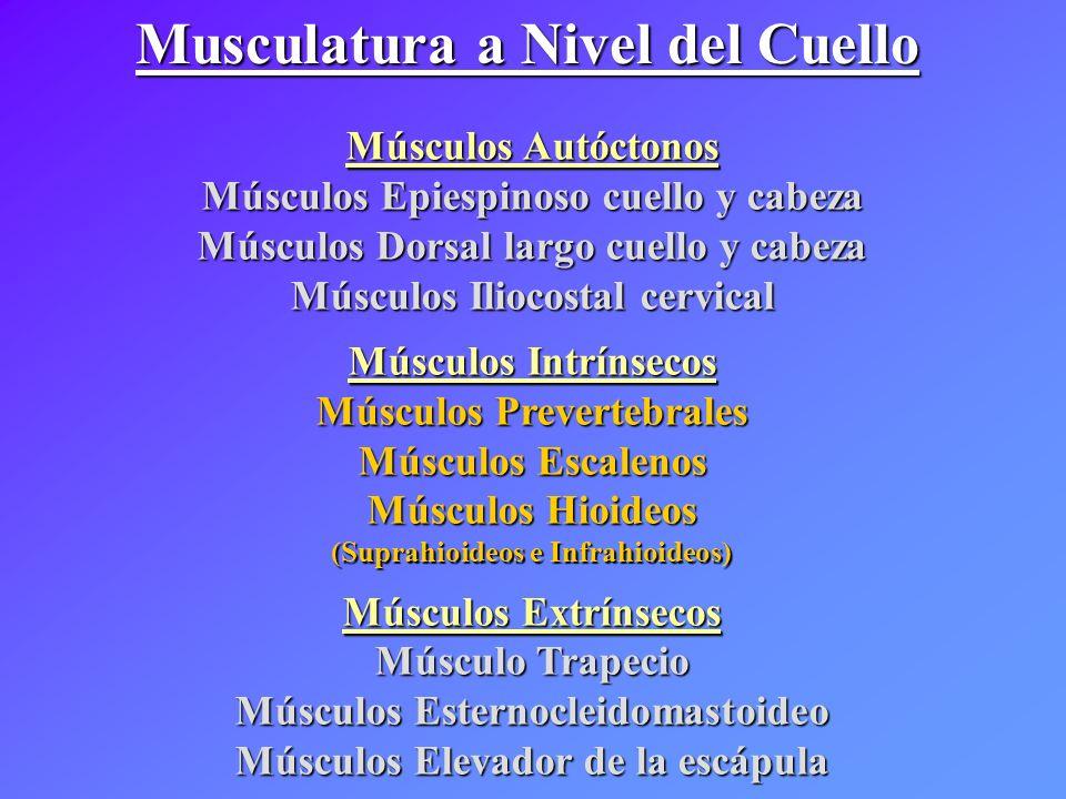Musculatura a Nivel del Cuello Músculos Autóctonos Músculos Epiespinoso cuello y cabeza Músculos Dorsal largo cuello y cabeza Músculos Iliocostal cerv