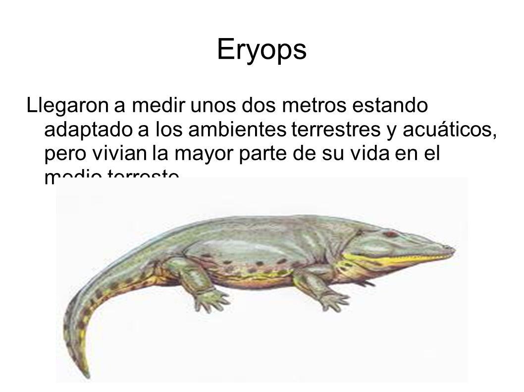 Eryops Llegaron a medir unos dos metros estando adaptado a los ambientes terrestres y acuáticos, pero vivian la mayor parte de su vida en el medio ter