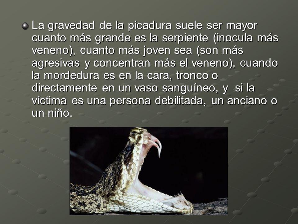 La gravedad de la picadura suele ser mayor cuanto más grande es la serpiente (inocula más veneno), cuanto más joven sea (son más agresivas y concentra