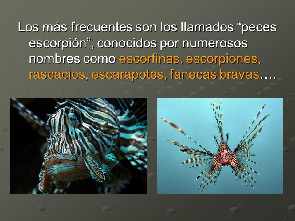 Los más frecuentes son los llamados peces escorpión, conocidos por numerosos nombres como escorfinas, escorpiones, rascacios, escarapotes, fanecas bra