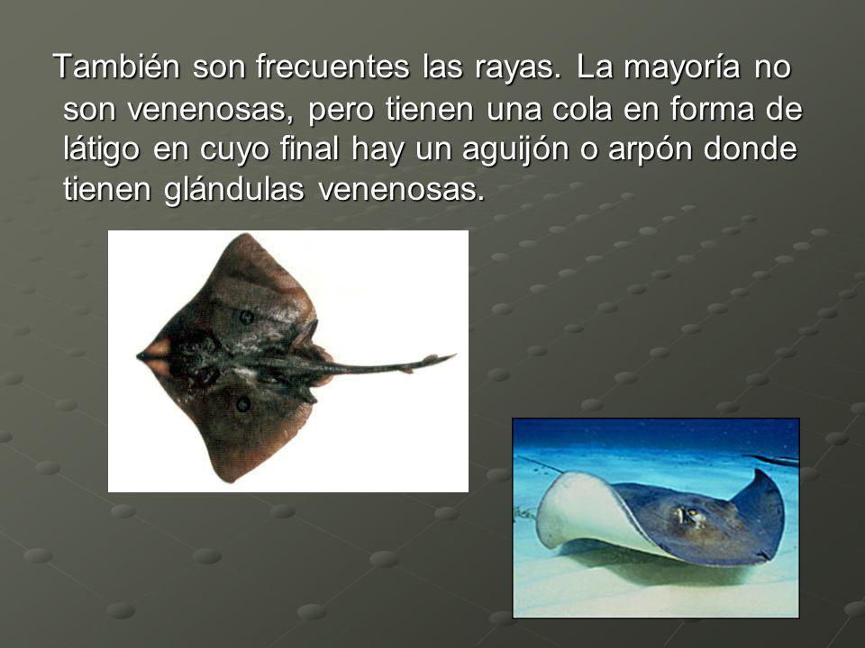 También son frecuentes las rayas. La mayoría no son venenosas, pero tienen una cola en forma de látigo en cuyo final hay un aguijón o arpón donde tien