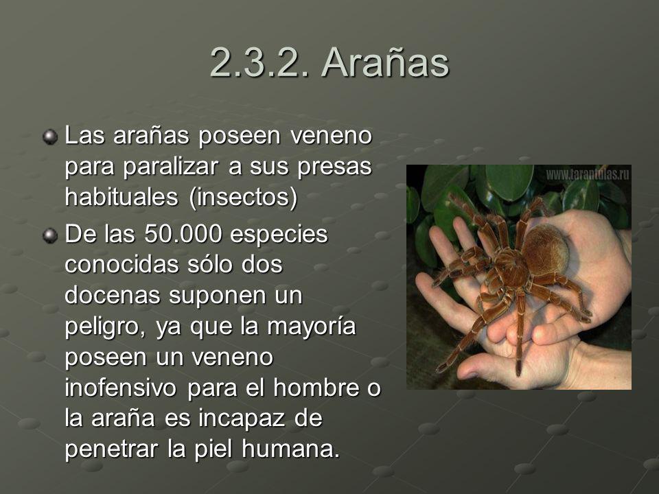 2.3.2. Arañas Las arañas poseen veneno para paralizar a sus presas habituales (insectos) De las 50.000 especies conocidas sólo dos docenas suponen un