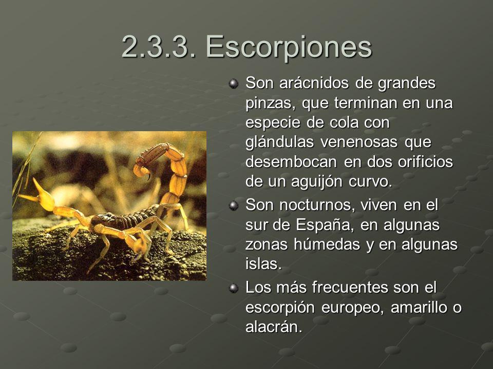 2.3.3. Escorpiones Son arácnidos de grandes pinzas, que terminan en una especie de cola con glándulas venenosas que desembocan en dos orificios de un