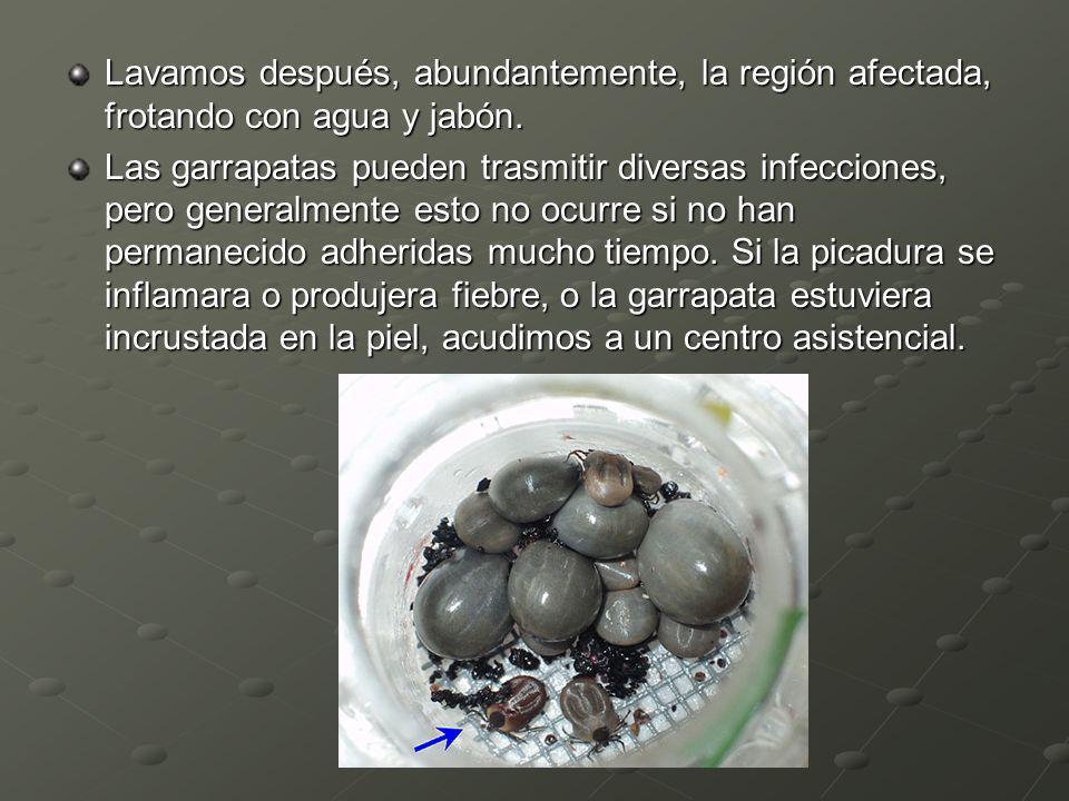 Lavamos después, abundantemente, la región afectada, frotando con agua y jabón. Las garrapatas pueden trasmitir diversas infecciones, pero generalment