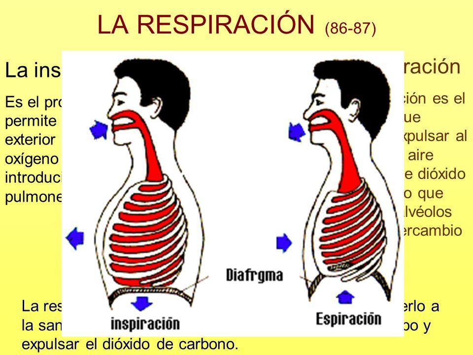 LA RESPIRACIÓN (86-87) La respiración consiste en tomar oxígeno del aire, cederlo a la sangre para que lo lleve a todas las células del cuerpo y expul