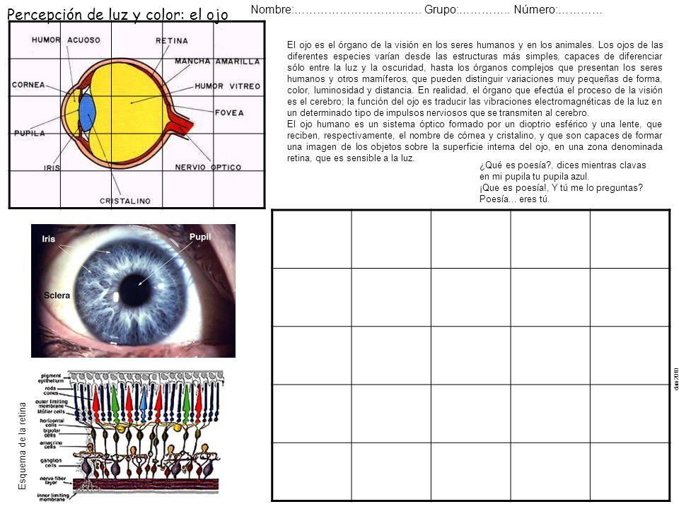 Percepción de luz y color: el ojo Nombre:……………………………. Grupo:………….. Número:………… Esquema de la retina dam2010 El ojo es el órgano de la visión en los se