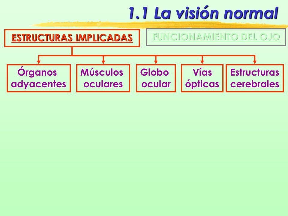 1.1 La visión normal ESTRUCTURAS IMPLICADAS Órganos adyacentes Cejas Pestañas Párpados Conjuntiva Aparato lagrimal IMAGEN