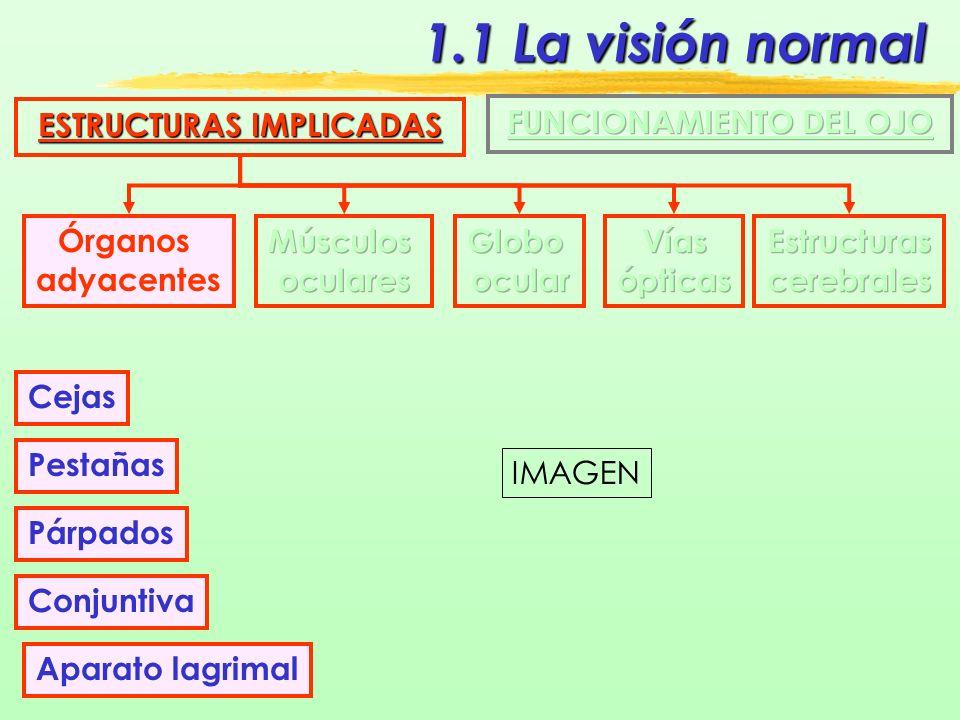 1.1 La visión normal ESTRUCTURAS IMPLICADAS Órganos adyacentes Aparato lagrimal Sistema secretor Sistema excretor IMAGEN