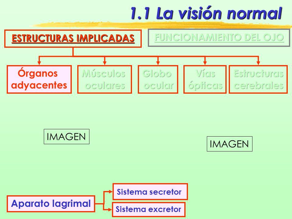 1.1 La visión normal ESTRUCTURAS IMPLICADAS Músculos oculares Mueven el ojo en todas las direcciones AducciónAbducción Descenso Elevación Intorsión Extorsión