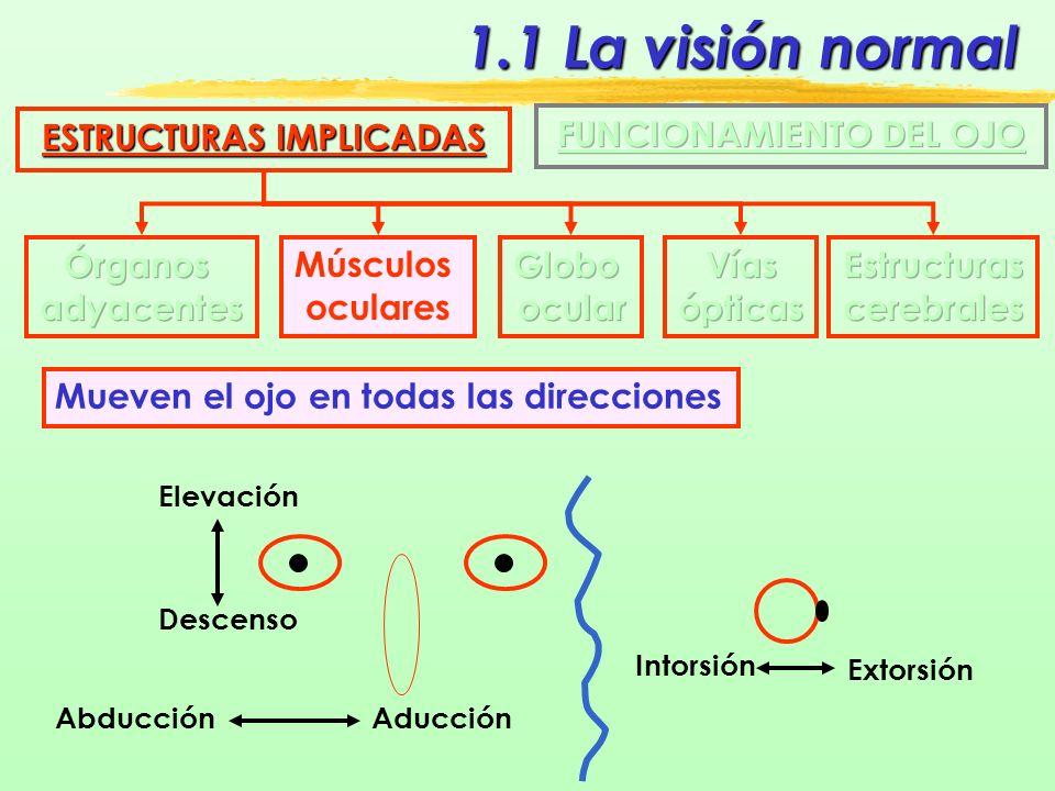 1.1 La visión normal ESTRUCTURAS IMPLICADAS Músculos oculares Son seis músculos IMAGEN