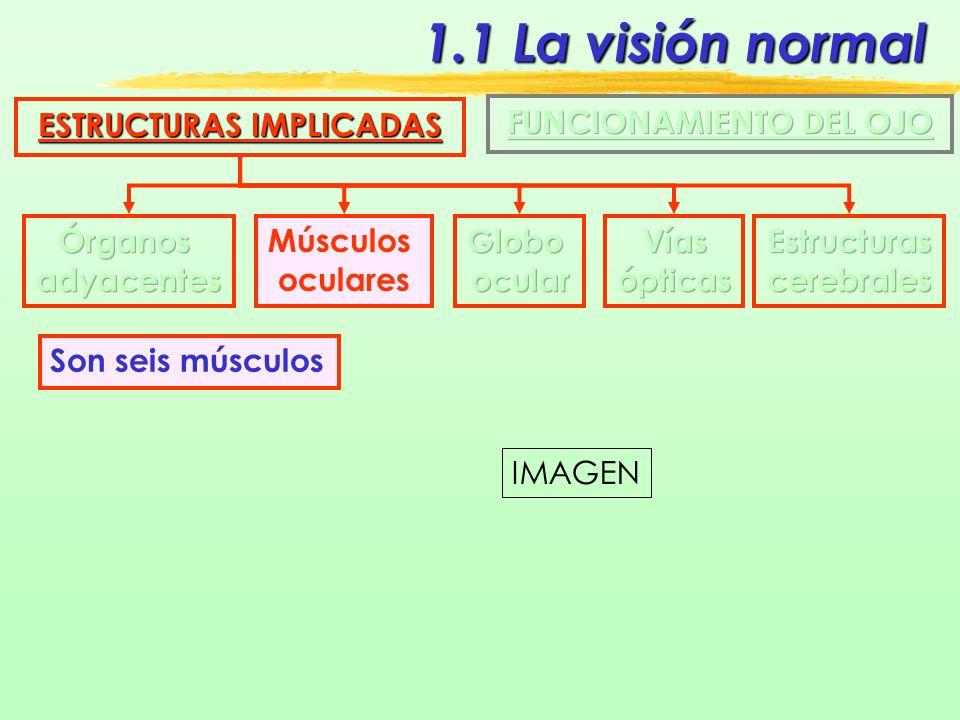 1.1 La visión normal ESTRUCTURAS IMPLICADAS Músculos oculares En cada movimiento intervienen varios músculos, pero uno es el dominante IMAGEN