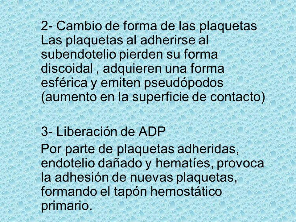 2- Cambio de forma de las plaquetas Las plaquetas al adherirse al subendotelio pierden su forma discoidal, adquieren una forma esférica y emiten pseud