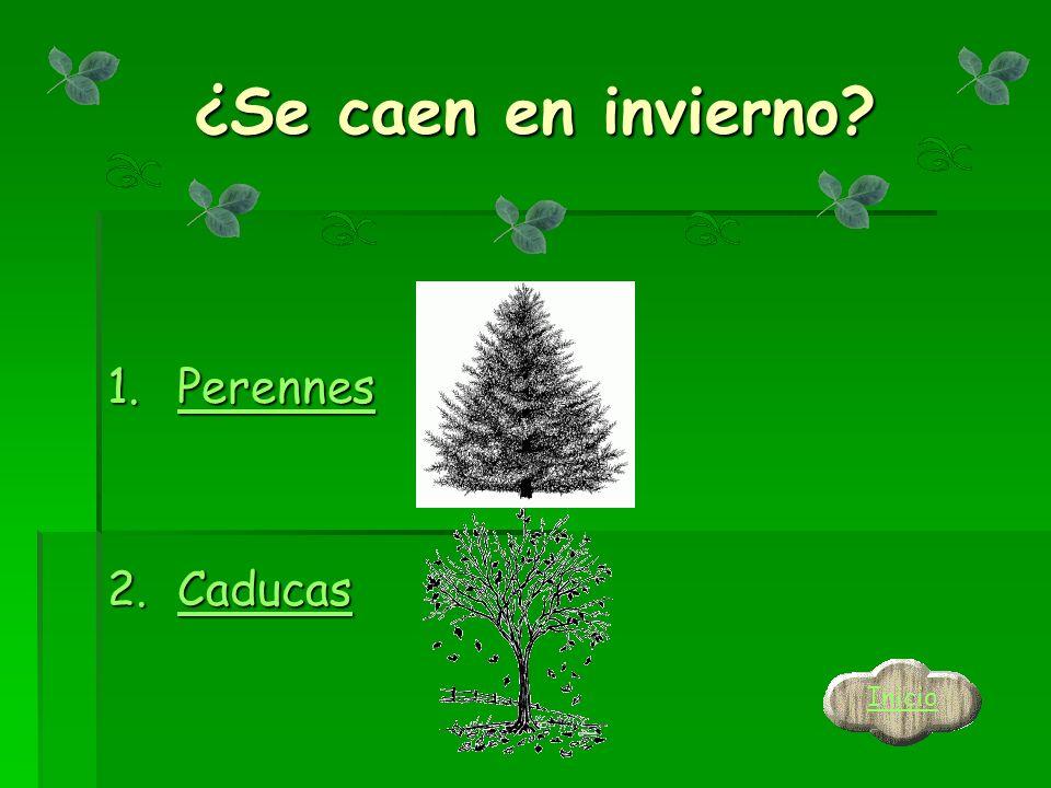 La forma de las hojas es… 1.planas planas 2.En forma de palmera En forma de palmeraEn forma de palmera Inicio Atrás