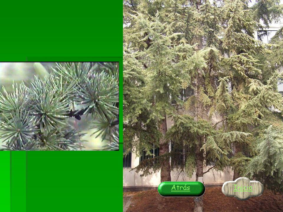 ¡¡¡EXCELENTE!!! Tu árbol es el MANZANO. Comprueba a continuación … Pincha para ver en detalle Pincha para ver en detalle Inicio Atrás