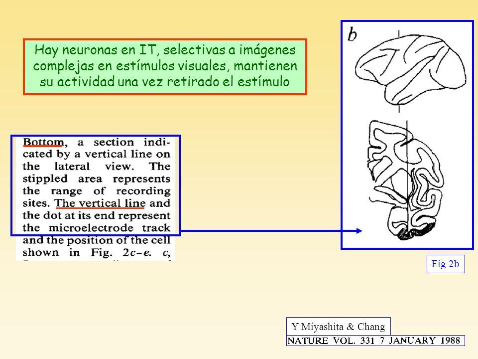 Hay neuronas en IT, selectivas a imágenes complejas en estímulos visuales, mantienen su actividad una vez retirado el estímulo Y Miyashita & Chang Fig 2b Miyashita & Chang, Nature 331, 1988
