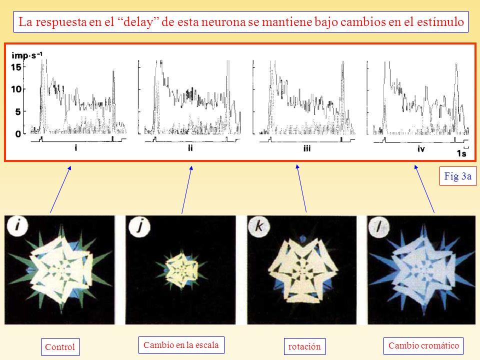 La respuesta en el delay de esta neurona se mantiene bajo cambios en el estímulo Invariancia bajo transformaciones del estímulo Fig 3a Cambio en la escala Cambio cromático Control rotación