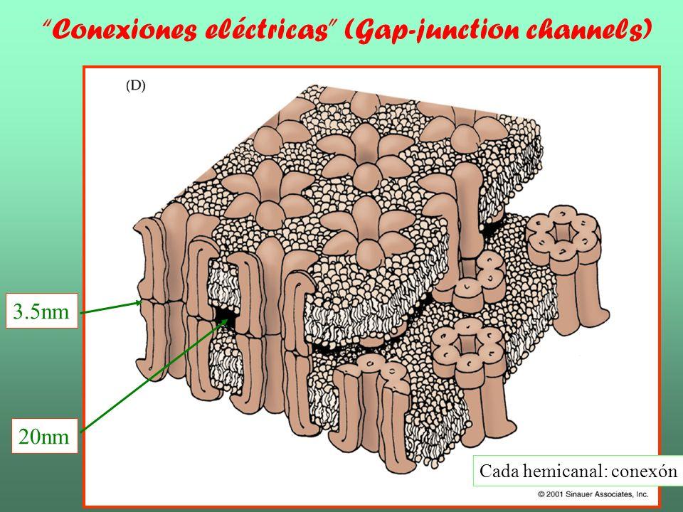 Sinapsis Químicas Nicholls-F13.1 Hendidura sináptica: 20-40 nm