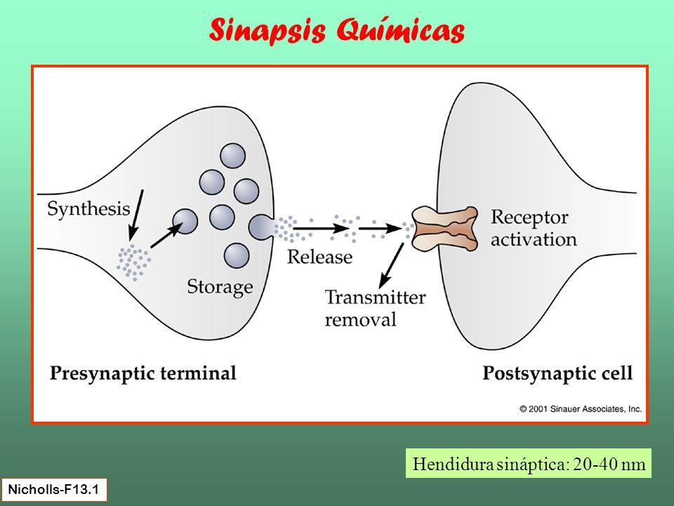 La transmisión en Sinapsis Químicas implica varios procesos