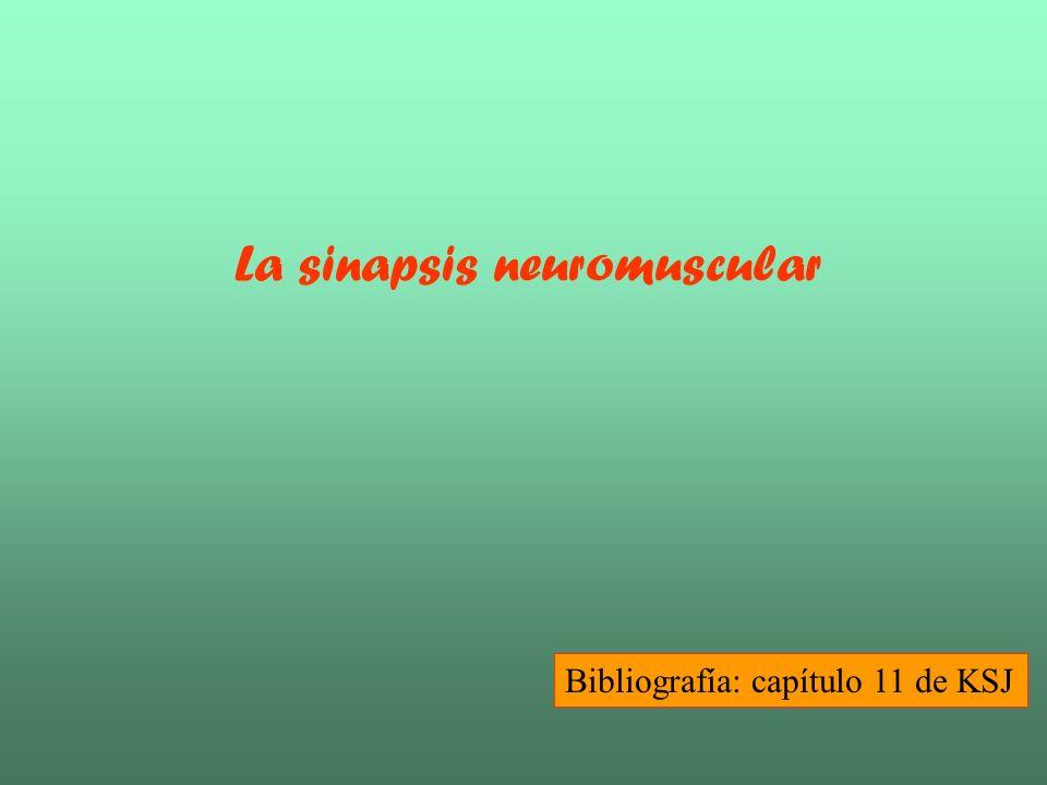 Anatomía de la sinapsis neuromuscular Mitocondria, Vesícula sináptica, Zona activa, Membrana presináptica, Espacio sináptico, Membrana postsináptica, Canal de Ca2+, Membrana basal, Pliegue de unión Placa terminal, Botones sinápticos KSJ2-F12.1 Canales Na activados por voltaje