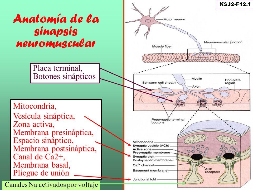 Anatomía de la sinapsis neuromuscular Mitocondria, Vesícula sináptica, Zona activa, Membrana presináptica, Espacio sináptico, Membrana postsináptica,