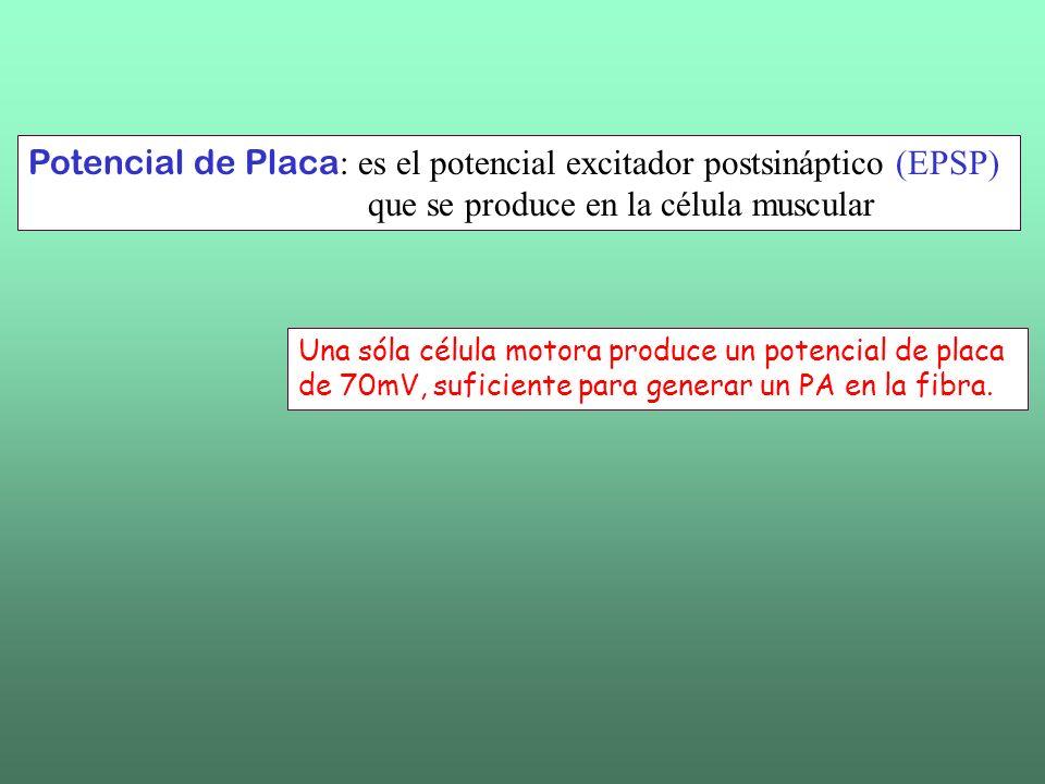 Potencial de Placa y Potencial de Acción El potencial de placa puede aislarse usando curare Así es posible estudiar los canales que lo producen, distintos de los que generan el PA.