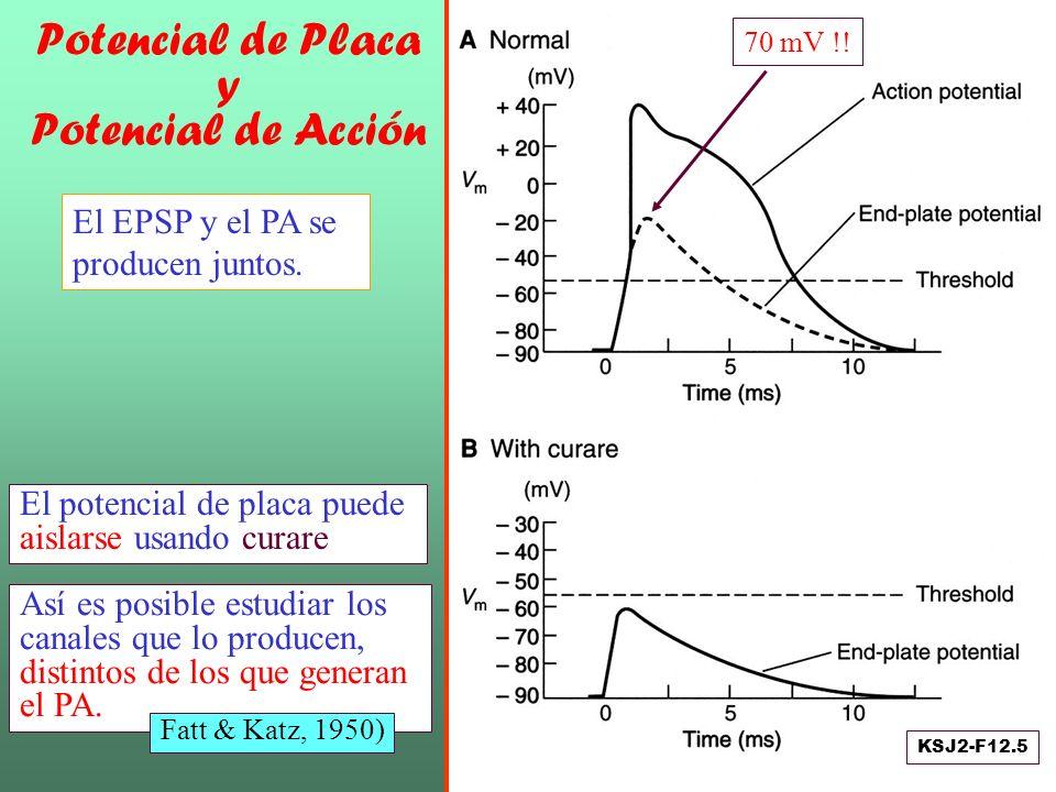 Potencial de Placa y Potencial de Acción El potencial de placa puede aislarse usando curare Así es posible estudiar los canales que lo producen, disti