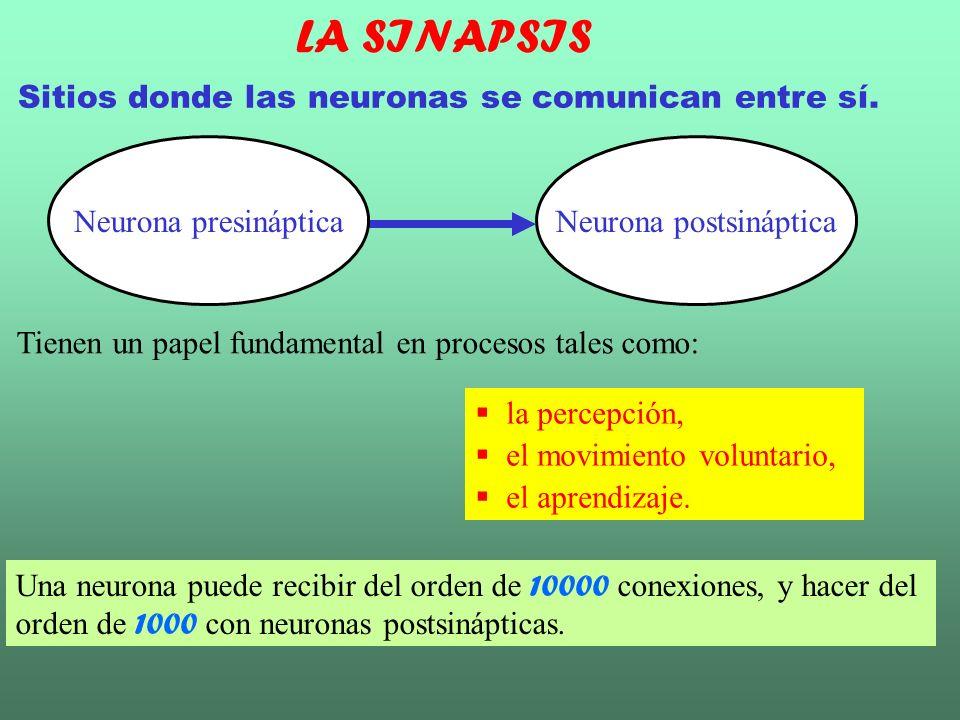 Químicas: No hay continuidad entre los citoplasmas de las dos células.