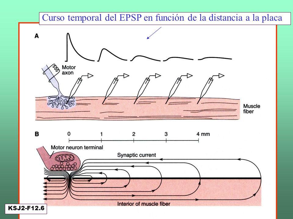 Decaimiento del potencial de placa Curso temporal del EPSP en función de la distancia a la placa KSJ2-F12.6