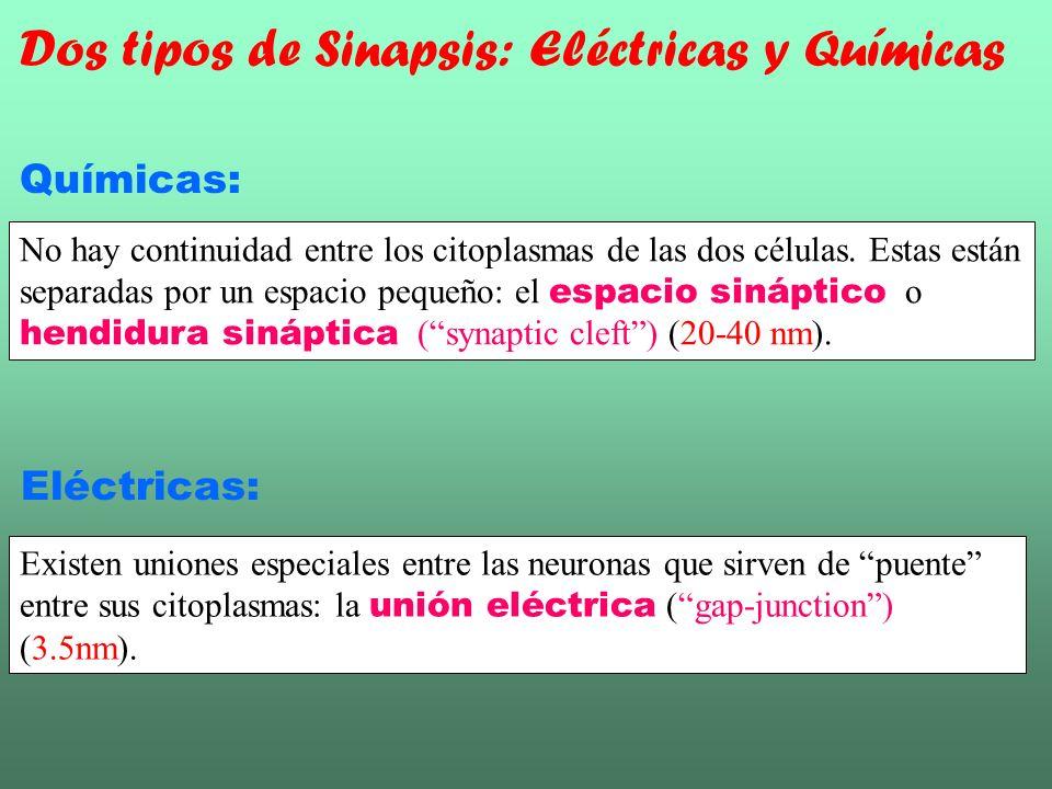 Químicas: No hay continuidad entre los citoplasmas de las dos células. Estas están separadas por un espacio pequeño: el espacio sináptico o hendidura