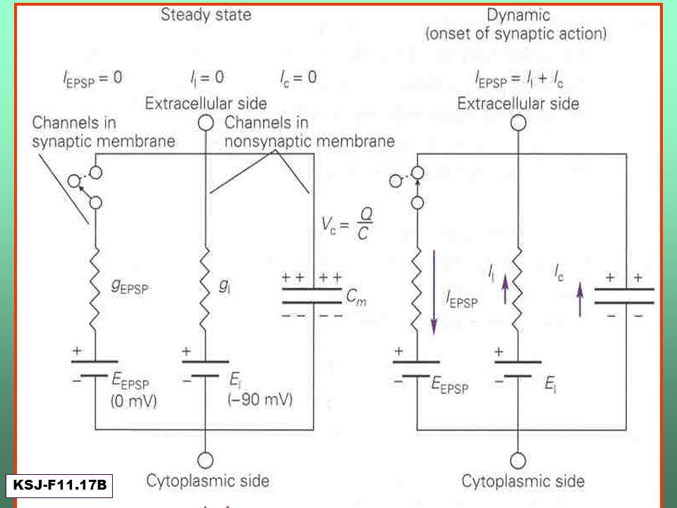 Pico del EPSP (estado estacionario) y fin de la acción sináptica KSJ-F11.17B