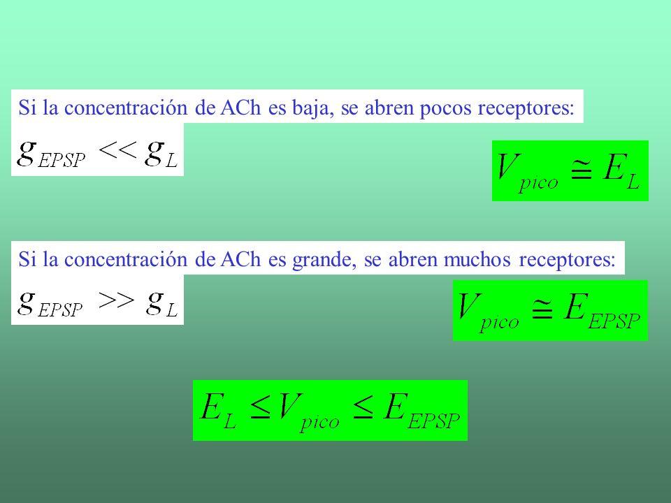 Si la concentración de ACh es baja, se abren pocos receptores: Si la concentración de ACh es grande, se abren muchos receptores:
