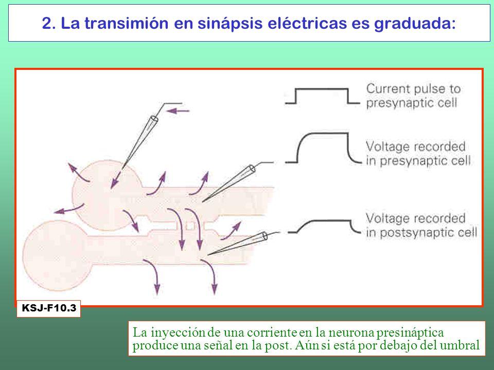 2. La transimión en sinápsis eléctricas es graduada: KSJ-F10.3 La inyección de una corriente en la neurona presináptica produce una señal en la post.