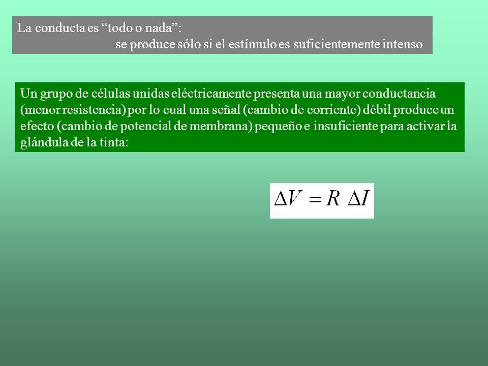 La conducta es todo o nada: se produce sólo si el estímulo es suficientemente intenso Un grupo de células unidas eléctricamente presenta una mayor con