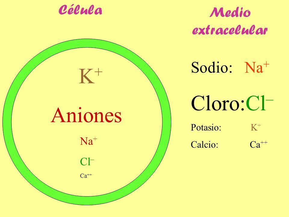 Célula Sodio: Na + Cloro:Cl – Potasio: K + Calcio: Ca ++ K + Aniones Na + Cl – Ca ++ Medio extracelular