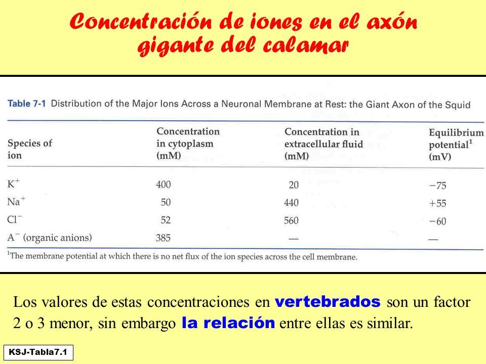 Concentración de iones en el axón gigante del calamar Los valores de estas concentraciones en vertebrados son un factor 2 o 3 menor, sin embargo la re