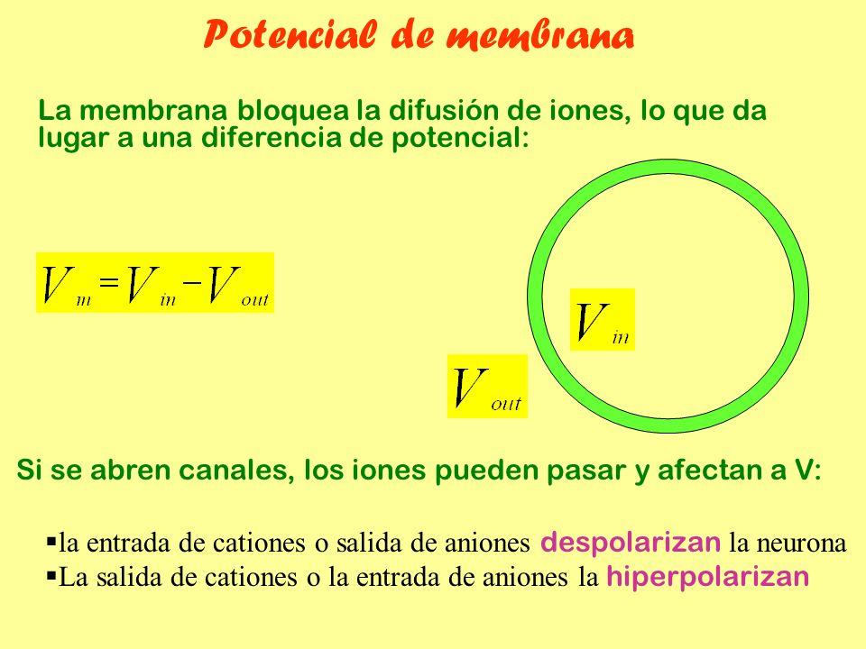 Potencial de membrana La membrana bloquea la difusión de iones, lo que da lugar a una diferencia de potencial: Si se abren canales, los iones pueden p