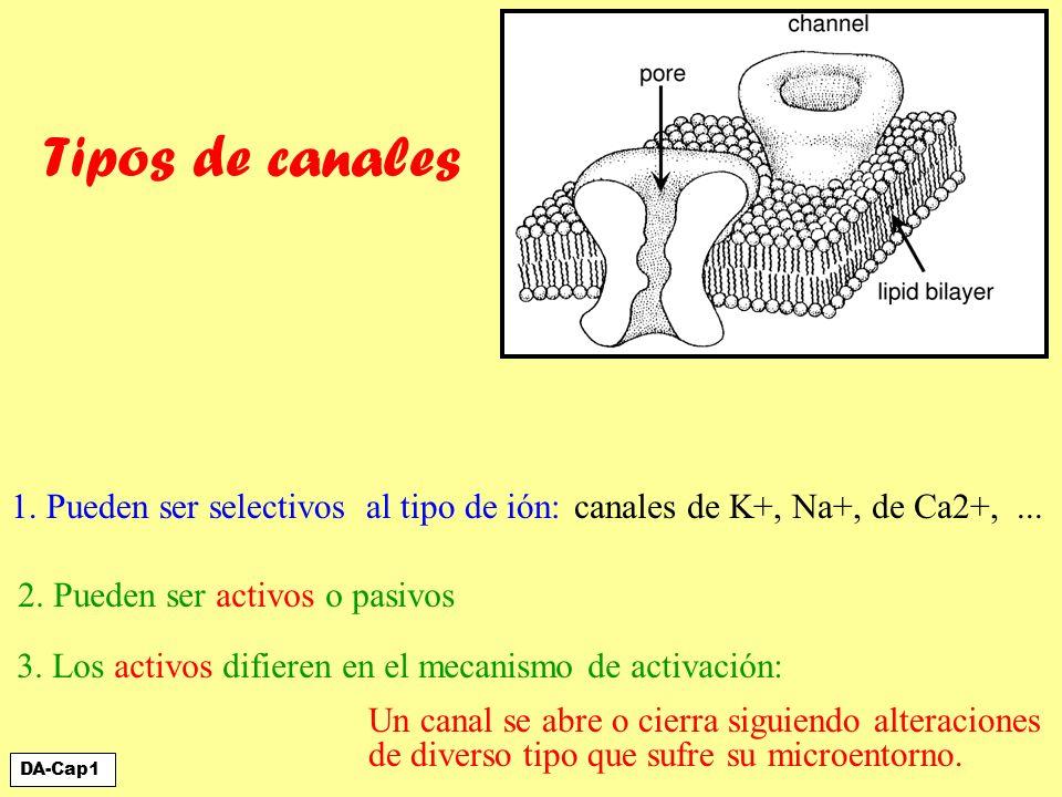 1. Pueden ser selectivos al tipo de ión: canales de K+, Na+, de Ca2+,... 3. Los activos difieren en el mecanismo de activación: Un canal se abre o cie