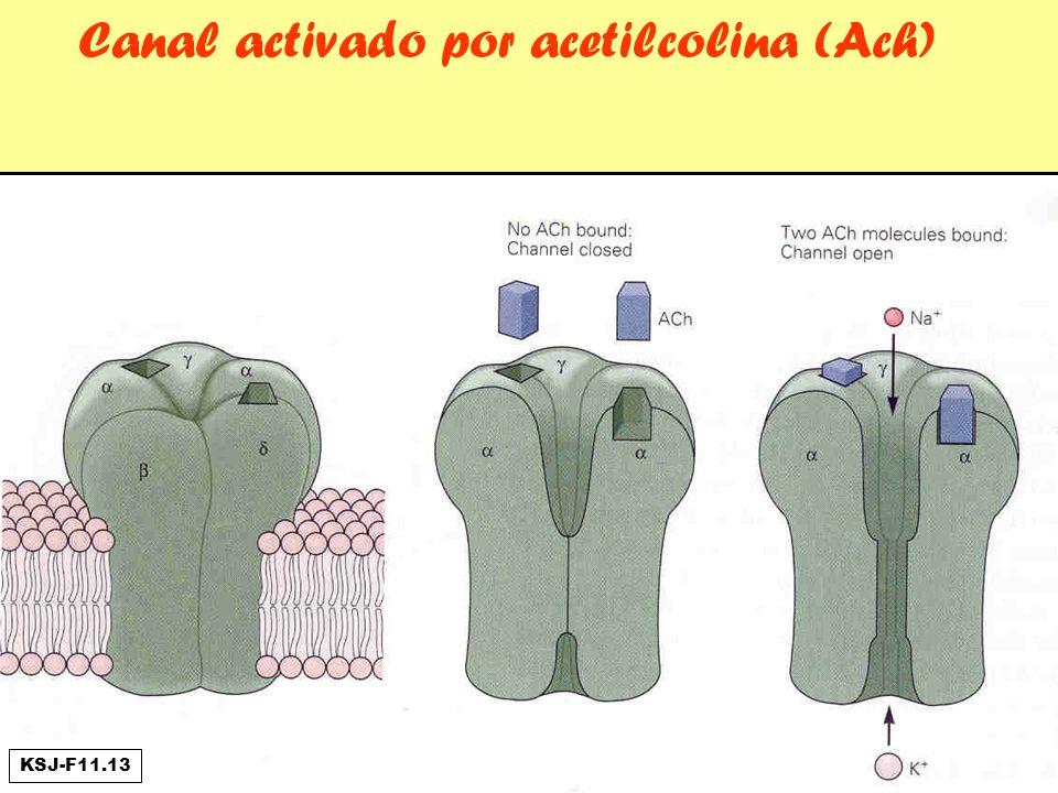 Canal activado por acetilcolina (Ach) KSJ-F11.13