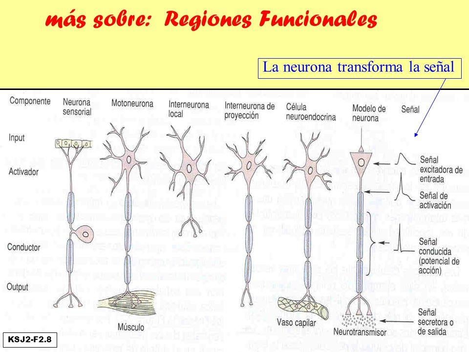 más sobre: Regiones Funcionales La neurona transforma la señal KSJ2-F2.8