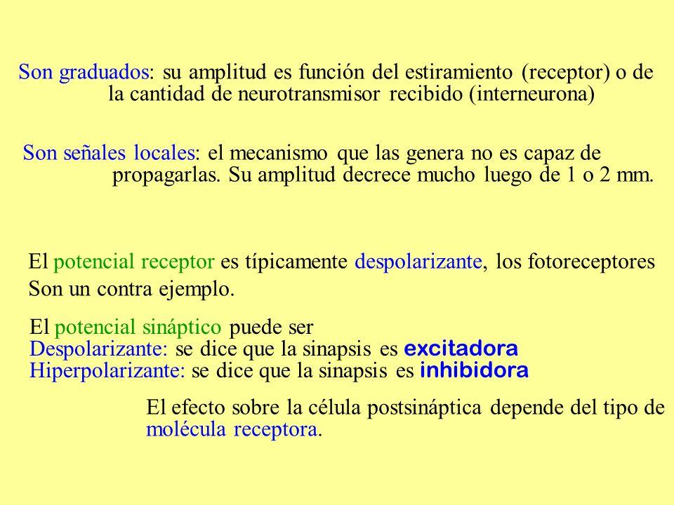 Son graduados: su amplitud es función del estiramiento (receptor) o de la cantidad de neurotransmisor recibido (interneurona) Son señales locales: el