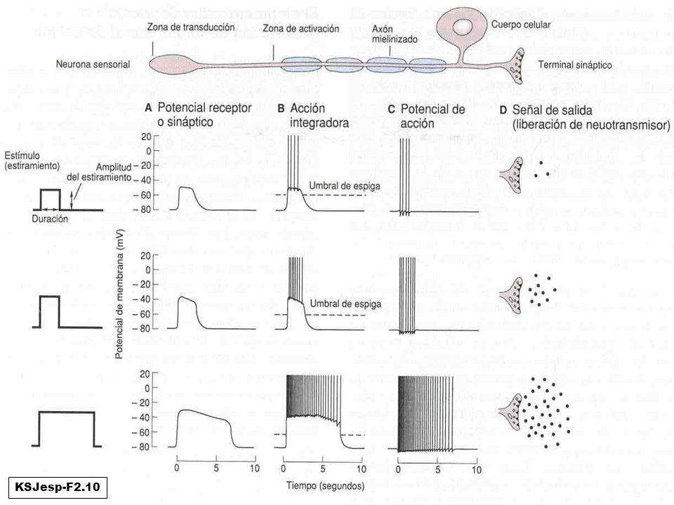 Ejemplo de las 4 funciones: neurona sensorial KSJesp-F2.10