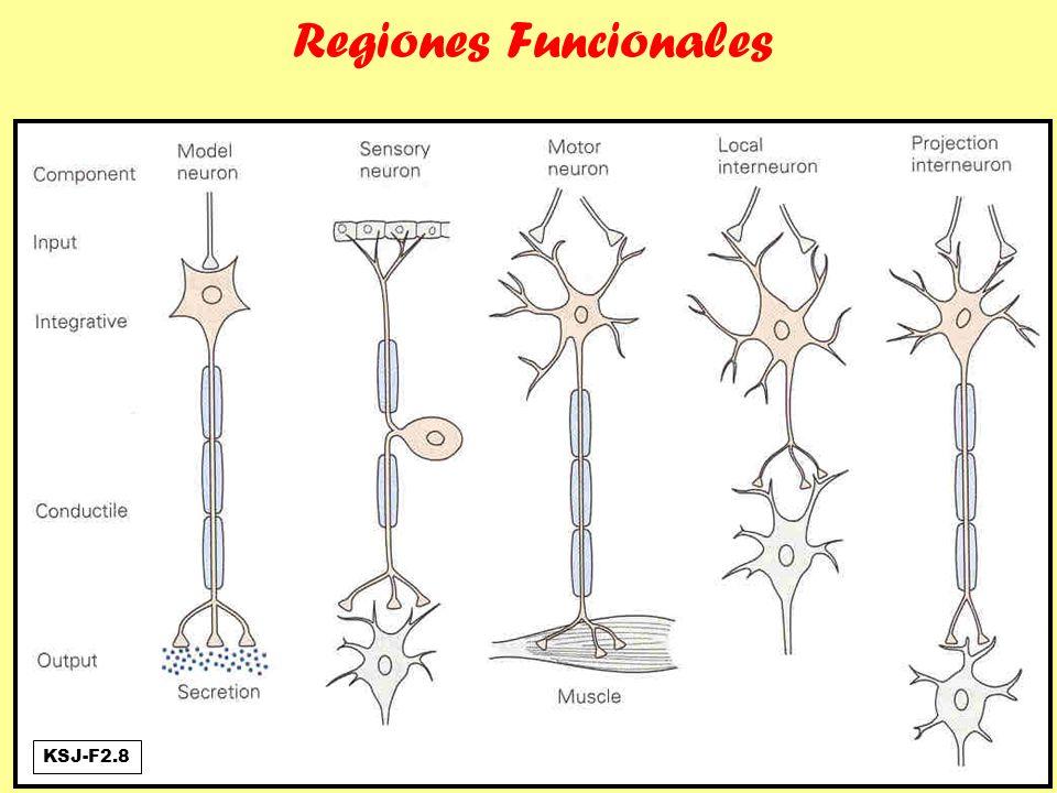 2y3 - Integración y Potencial de Acción (PA) Cono de arranque (axon hillock) PA o espiga