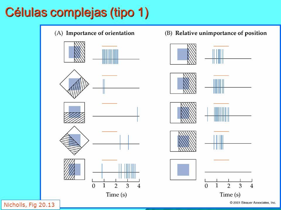 Nicholls, Fig 20.13 Células complejas (tipo 1)