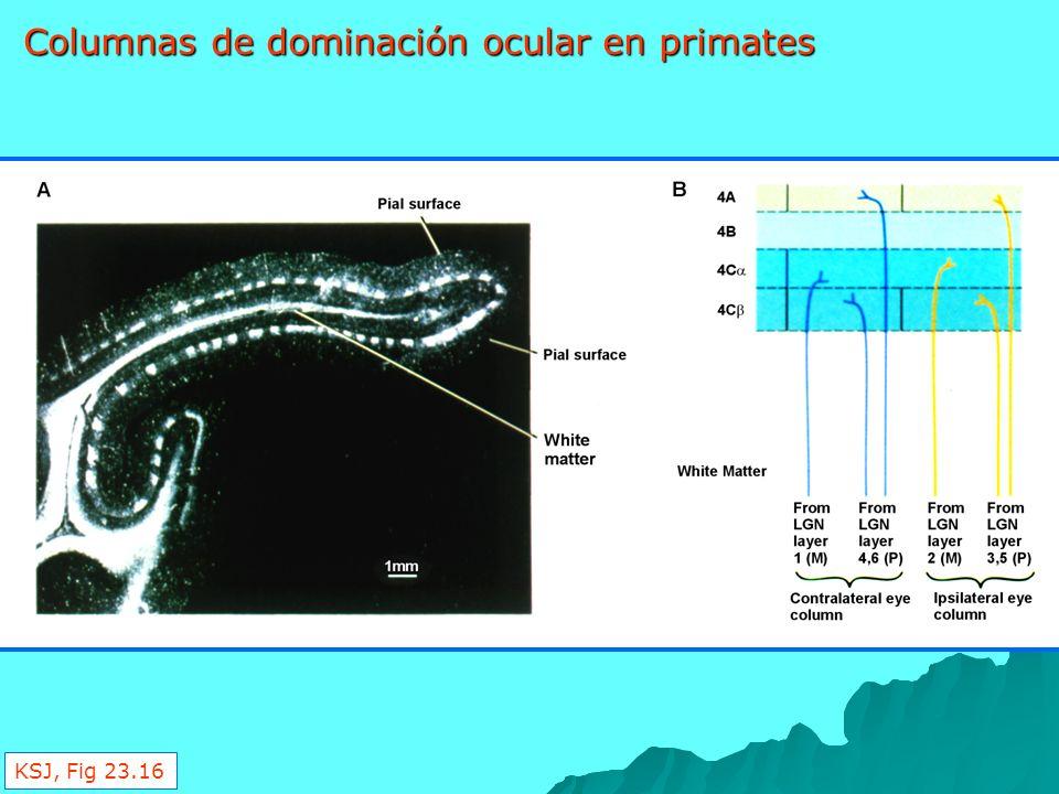 Figure 23-16 Columnas de dominación ocular en primates KSJ, Fig 23.16