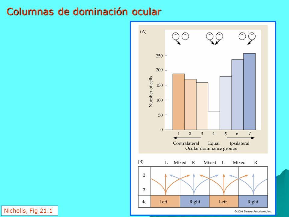 Nicholls, Fig 21.1 Columnas de dominación ocular