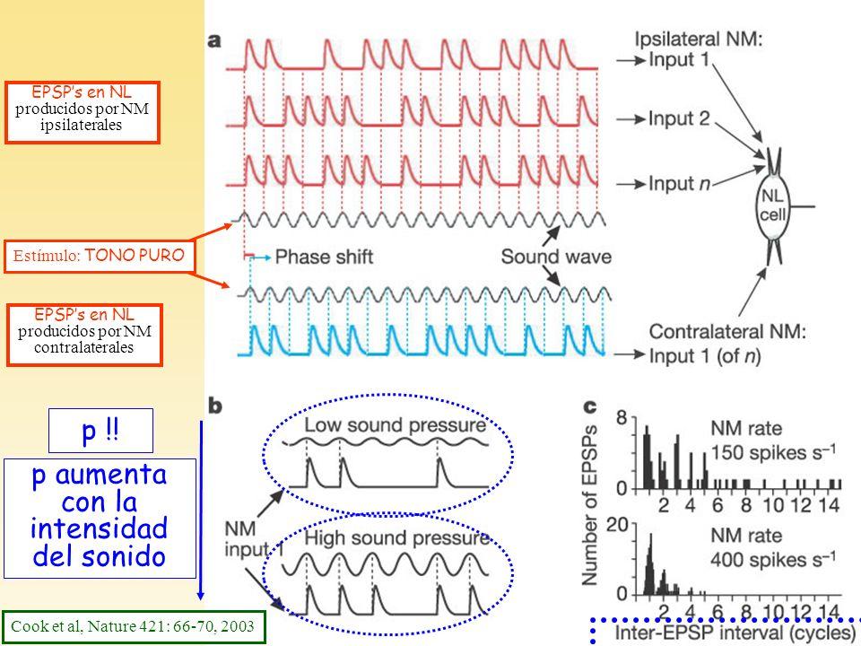 Texto Stevens (3) (y Cook F2) EPSPs en NL producidos por NM ipsilaterales Estímulo: TONO PURO EPSPs en NL producidos por NM contralaterales p !! p aum
